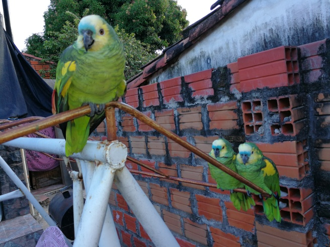 Drei Papageien